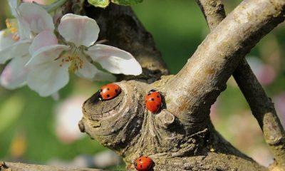 Marienkäfer in den Garten locken - Ratgeber