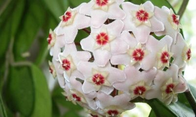 Porzellanblume (Wachsblume) Anbau und Pflege