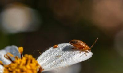 Schneeballblattkäfer bekämpfen