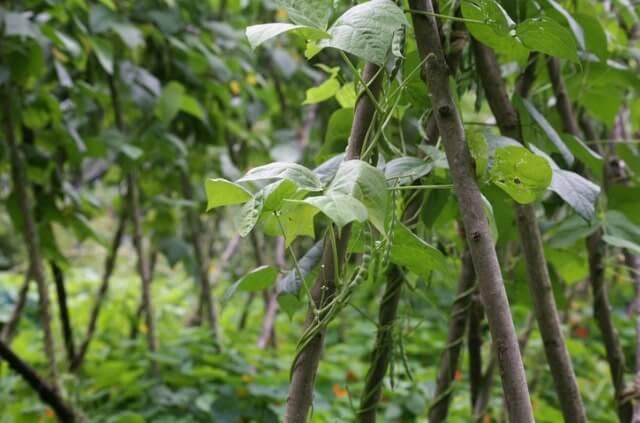 Stangenbohnen - Tipps für einen erfolgreichen Anbau