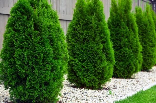 Thuja pflanzen und pflegen