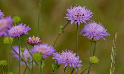 Witwenblume richtig pflanzen und pflegen