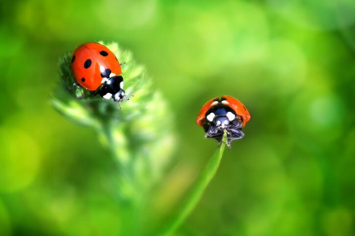 Marienkäfer im Garten ansiedeln