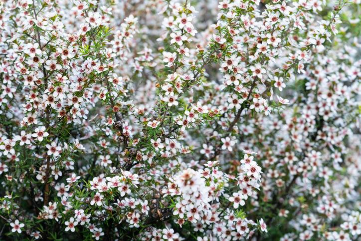 Was ist die Manuka-Pflanze überhaupt