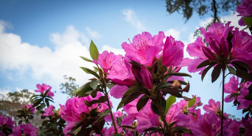 Azaleen und Rhododendren