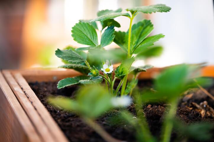 Erdbeeren vermehren - Kübel- und Hängepflanzen