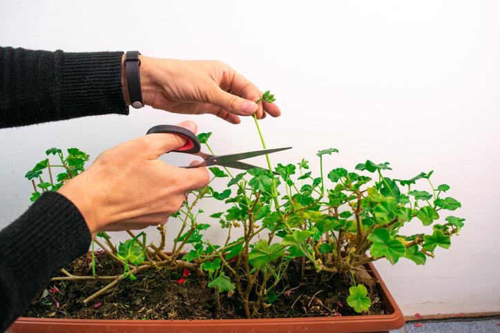Geranien durch Stecklinge vermehren
