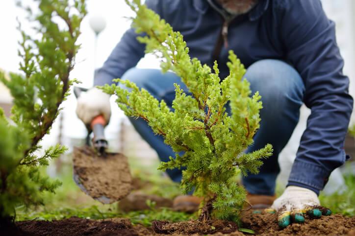 Wacholder richtig anpflanzen