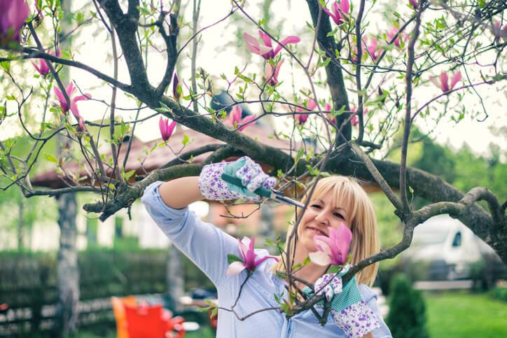 Warum Magnolien geschnitten werden sollten