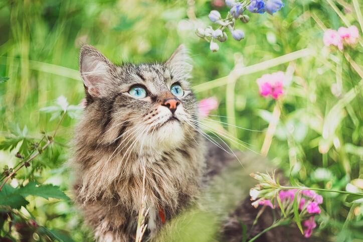 Akelei - auch für Haustiere giftig