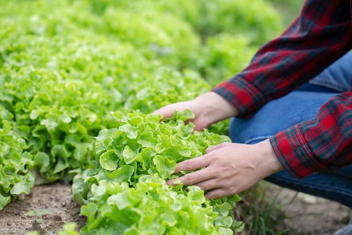 Aussaat und Folgepflege der Winterendivie in kompakter Form