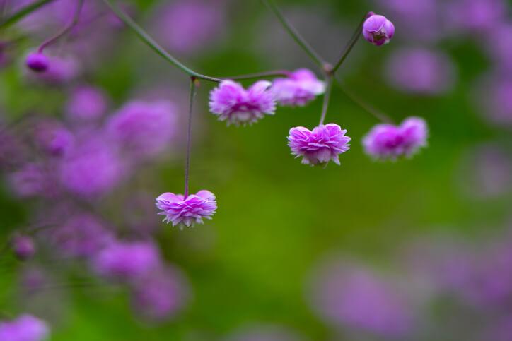 China-Wiesenraute (Thalictrum delavayi) Eine Grazie für das Blumenbeet