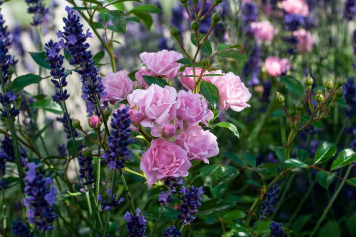 Kräuter als Begleiter von Rosen