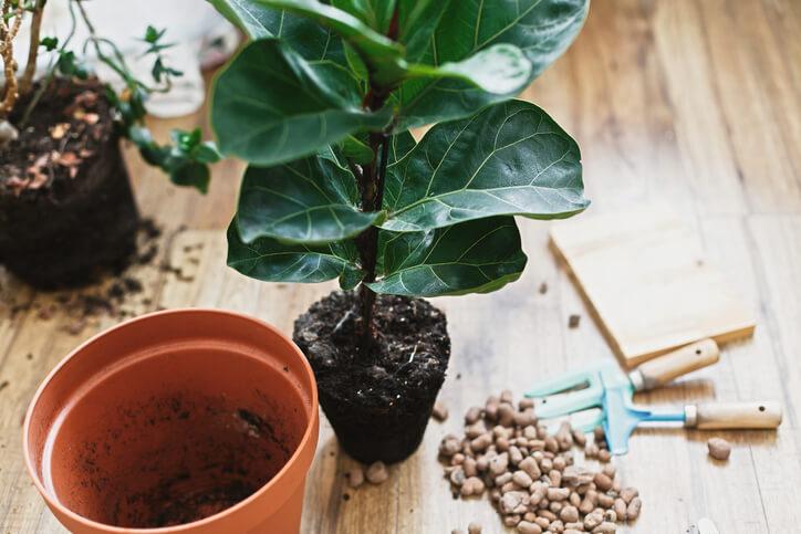 Pflanze umtopfen