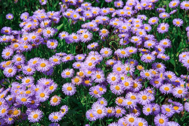 Raublatt-Aster (Aster novae-angliae) Tolerante Staude in violettem Glanz