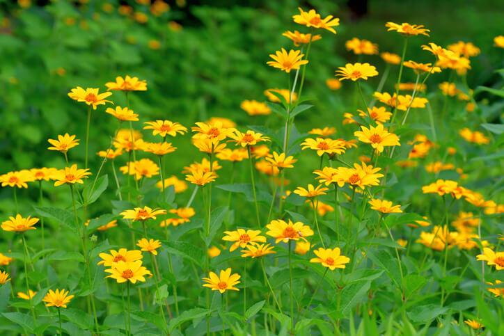Sonnenauge (Heliopsis) Anspruchsloser Blickfang mit genialem Leuchten