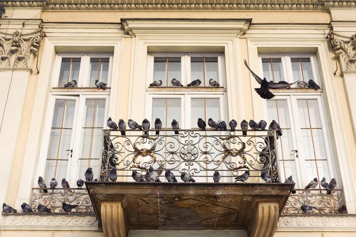 Warum nisten Tauben überhaupt auf dem Balkon