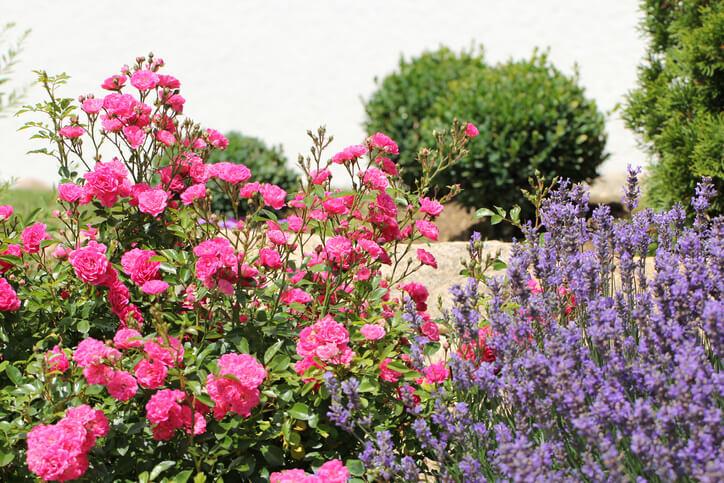 Ziergräser als Begleiter von Rosen