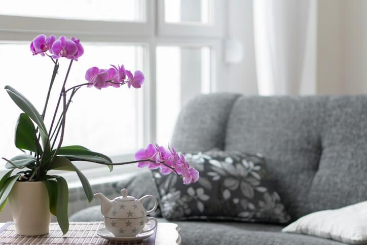 Schädliche Orchideen Irrglaube oder Gefahr