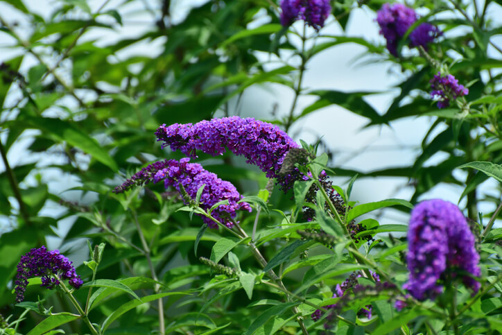 Schmetterlingsflieder und Giftigkeit