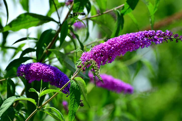 Wie giftig ist Schmetterlingsflieder für Mensch und Tier