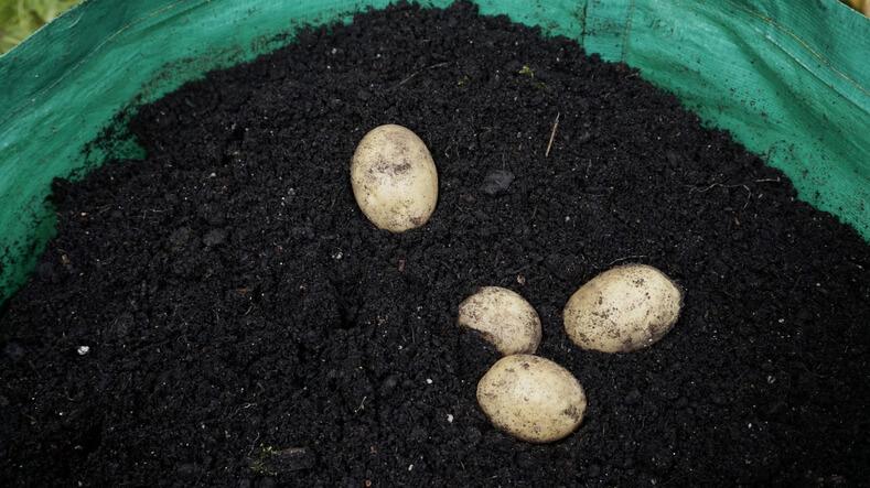 Wie pflanze ich die Kartoffeln im Pflanzsack