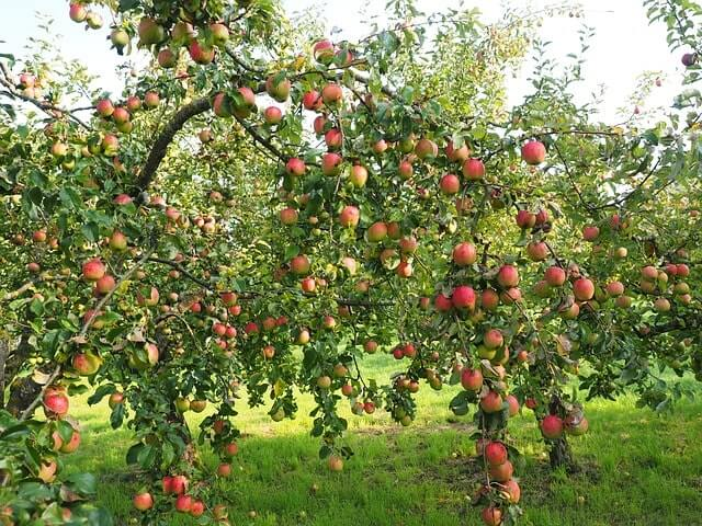 Apfelbaum bekommt gelbe Blätter - Diese Tipps helfen