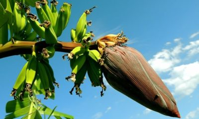 Bananenpflanze Ableger