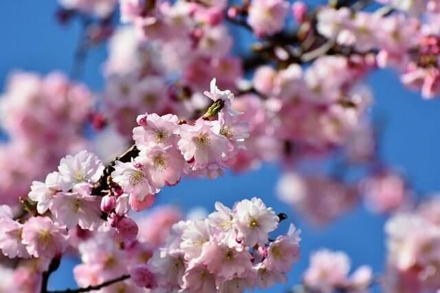 Baum mit rosa Blüten - Bäume die in rosa oder pink blühen