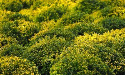 Buchsbaum bekommt gelbe Blätter