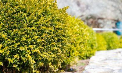 Buchsbaum gießen - Wie oft im Sommer, Herbst und Winter