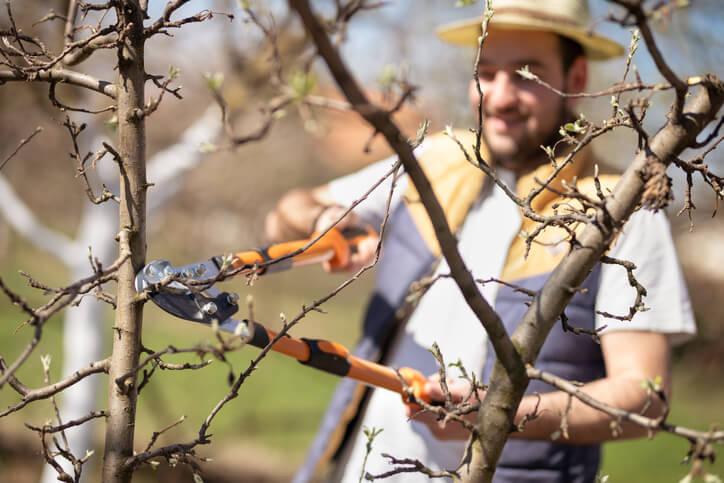 Der Pflanzschnitt bei jungen Zwetschgenbäumen