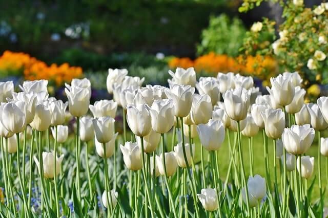 Die Blütezeit von Tulpen