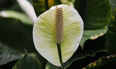 Einblatt bekommt braune Blätter