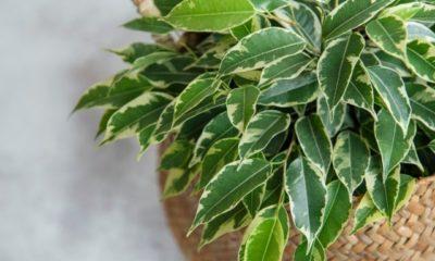 Ficus Benjamini bekommt gelbe Blätter