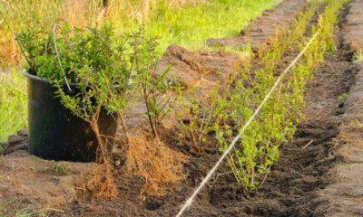 Hecke umpflanzen