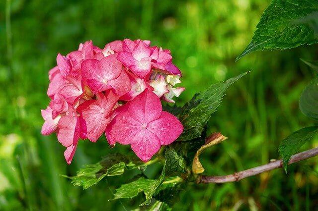 Hortensie bekommt braune Blätter
