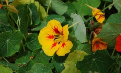 Kapuzinerkresse Sorten - Essbare und nicht essbare Sorten