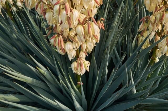 Kerzen-Palmlilie - Die richtige Pflege