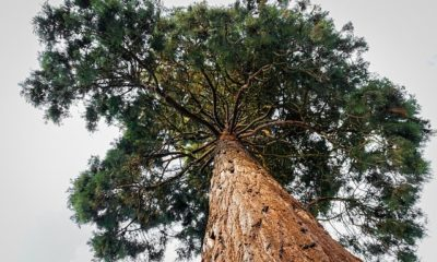 Mammutbaum richtig schneiden