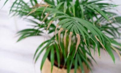 Palme bekommt gelbe Blätter - was tun