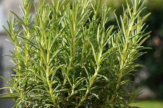 Rosmarin gießen - wie oft sollte man Rosmarin bewässern