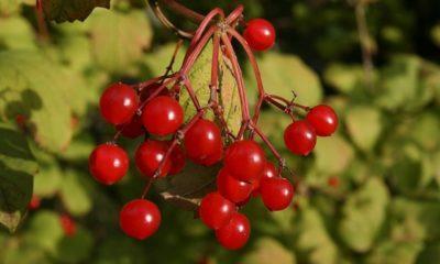 Schneeball Früchte - Giftig oder essbar