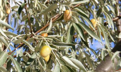 Sind die Früchte der Ölweide essbar