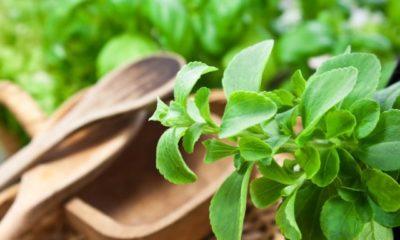 Stevia aus Samen ziehen