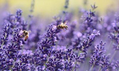 Wann Lavendel pflanzen - Der beste Zeitpunkt