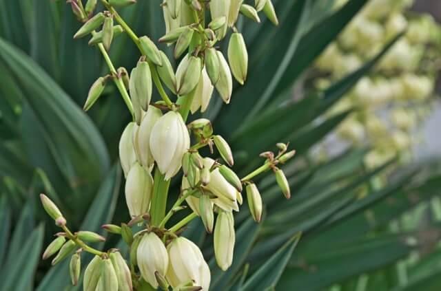 Yucca Gloriosa Blüte - Wann und wie lange blüht sie