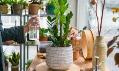 Zamioculcas Tipps zur Blüte der exotischen Pflanze