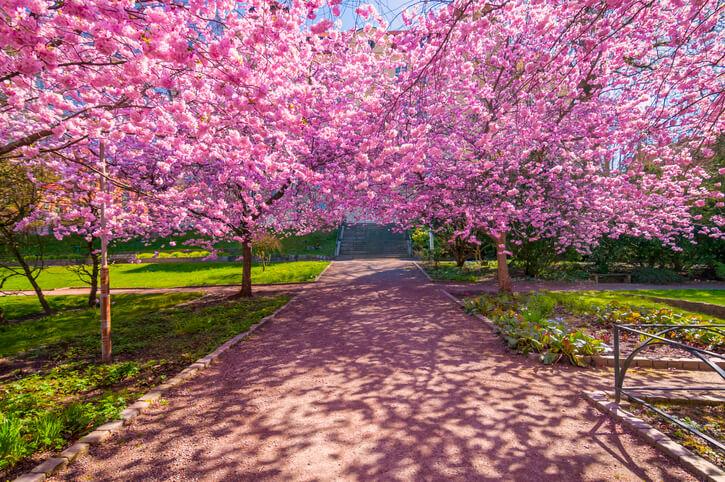Baumarten mit rosa- oder pinkfarbenen Blüten