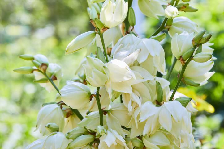 Die Blütenbildung der Yucca Gloriosa